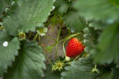 Red ripe strawberry hanging on plant Stock Photos