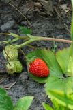 Red ripe strawberry on a thin stem of a green bush Stock Photos