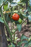 Red-ripe tomato on green plant in hothouse Stock Image