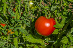 Red ripe tomato on the vine Royalty Free Stock Image