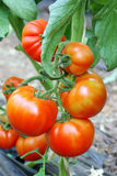 Red ripe tomatoes. Red ripe tomato in a greenhouse Royalty Free Stock Photos