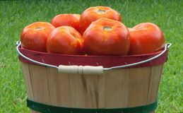 Red Ripe Tomatoes in Basket Stock Photo