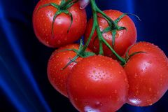 Red and ripe tomatoes on a branch with water droplets. Royalty Free Stock Photography