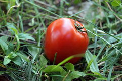 Red ripe tomatoes lie on green grass Royalty Free Stock Images