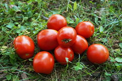 Red ripe tomatoes lie on green grass Stock Photos