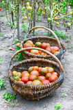 Red, ripe tomatoes in two wicker baskets. Stock Photos