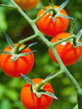 Red Ripe Tomatoes on the Vine Stock Image