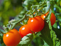 Red Ripe Tomatoes on the Vine Royalty Free Stock Photography