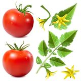 Red ripe tomatoes. Red ripe tomatoes with water drops,tomato leaves and tomato blossoms. Vector illustration Stock Photography