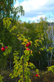 Red ripe wild apples on branches of background autumn trees and blue sky Royalty Free Stock Image