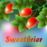 Red, ripes sweetbrier hanging on a branch with green leaves. Royalty Free Stock Photo