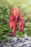 Red river crayfish on green parsley Royalty Free Stock Photos