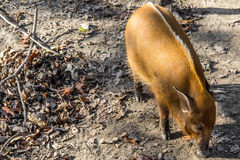 Red River gödsvin - afrikanskt djurliv Arkivfoto