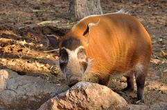 The Red River Hog Royalty Free Stock Images