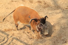 Red river hog Stock Photos