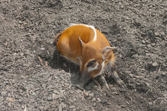 Red river hog Stock Images