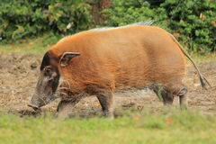 Free Red River Hog Stock Photography - 26830212
