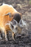Red River Hog Arkivbild
