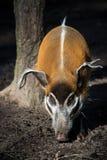 Red River Hog royaltyfri fotografi