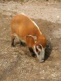 Red River Hog Stock Photos