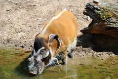 Red River Hog. Latin name Potamochoerus porcus Stock Photography