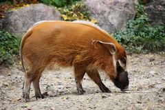Free Red River Hog Royalty Free Stock Photo - 47180065