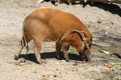 Red River Hog. A red river hog eating scraps Royalty Free Stock Images