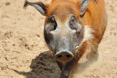 Red river hog. Male a wild pig protects the harem from another's intrusion Stock Photo