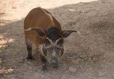 Red river hog / African Wildlife royalty free stock images