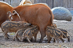 Red River Hog. Baby Red River Hogs feeding in the morning Royalty Free Stock Photos