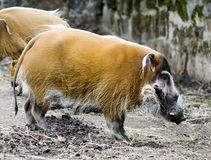 Red River Hog Boar Royalty Free Stock Image