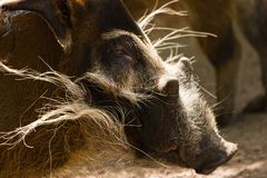 Red River Hog boar. In the sun and looking Royalty Free Stock Images