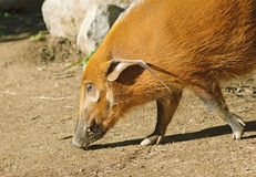 The Red River Hog or Bush Pig Royalty Free Stock Photography