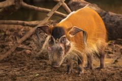 Red river hog, bush pig Royalty Free Stock Image