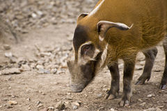 Red River Hog in Captivity Stock Photos