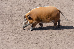 Red River Hog Royalty Free Stock Photography