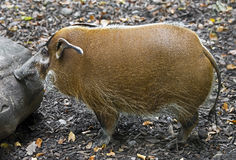 Red river hog 1 Stock Photo