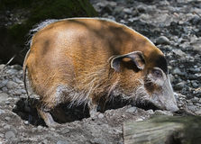 Red river hog 5 Royalty Free Stock Photography