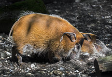 Red river hog 6 Stock Image