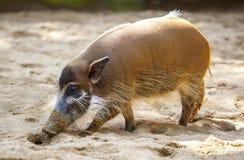Red river hog. Mature specimen of red river hog or potamochoerus porcus pictus Stock Photography