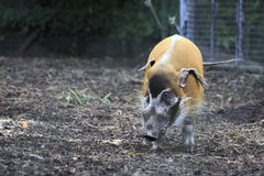 Red River Hog. Stock Image