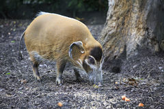 Red River Hog. Stock Photography