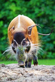 Red river hog outside Royalty Free Stock Photos