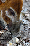 Red river hog pig Royalty Free Stock Photos