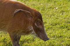 Red river hog (Potamochoerus porcus). The African pig species in a safari Royalty Free Stock Photos