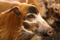 Red River Hog - Potamochoerus porcus Stock Image