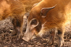 Red River Hog - Potamochoerus porcus Royalty Free Stock Image