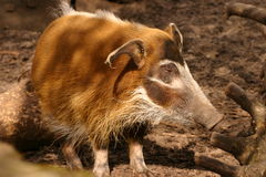Red River Hog - Potamochoerus porcus Stock Photo