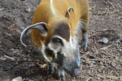Red River Hog, Potamochoerus Porcus Royalty Free Stock Photos