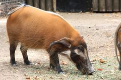 Red River Hog Royalty Free Stock Image